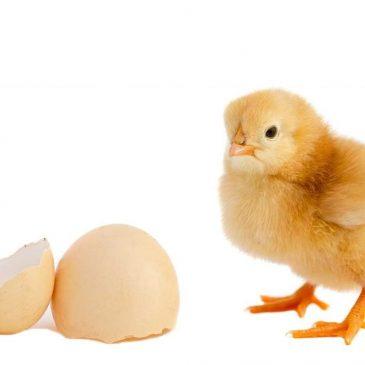 Các cơ quan nội tạng của gà