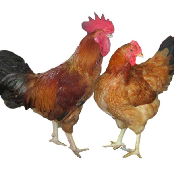 Dụng cụ nuôi gà